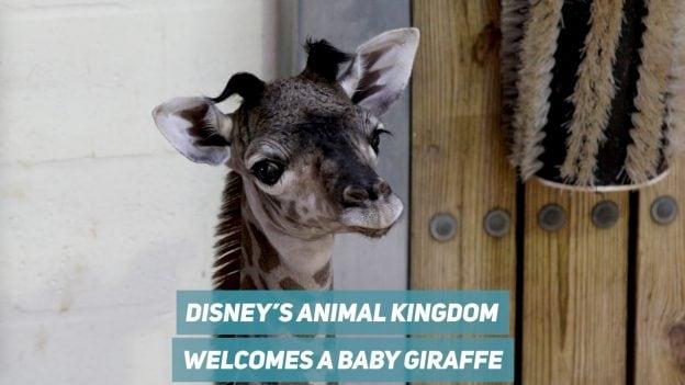 Disney's Animal Kingdom Welcomes a Baby Giraffe