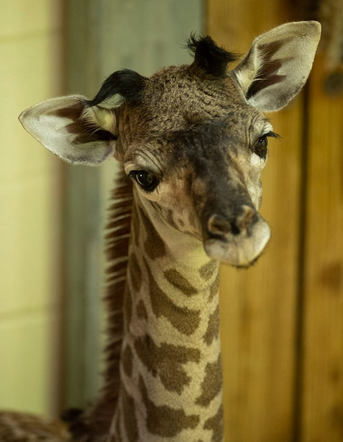Baby giraffe born at Disney's Animal Kingdom