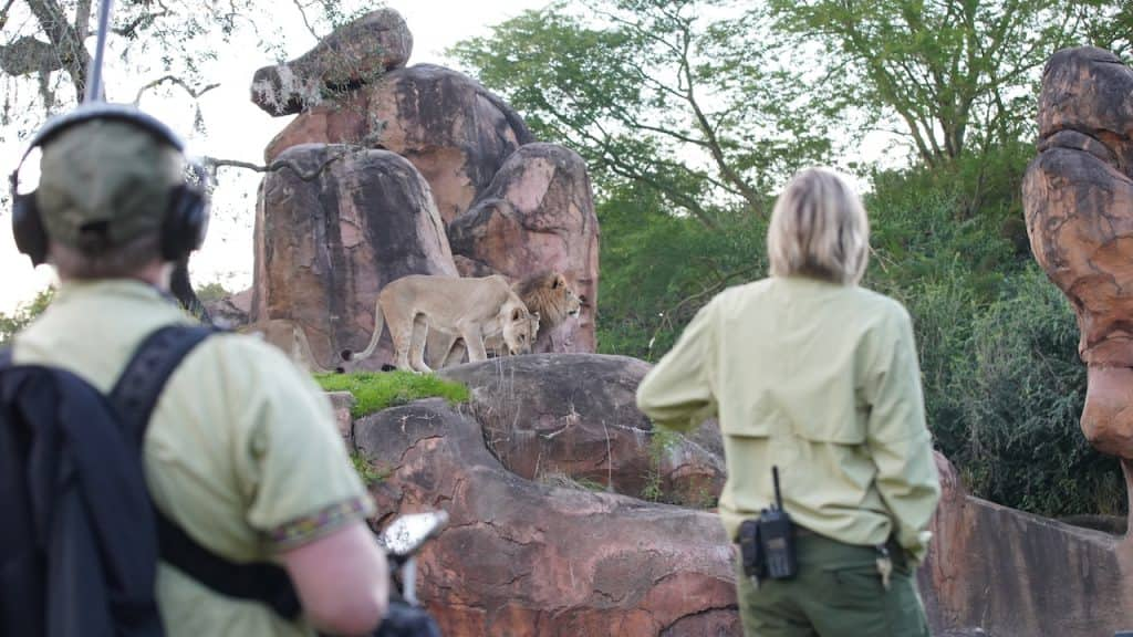 Magic of Disney's Animal Kingdom production team and keeper Lori Kurdziel observe lions Kinsey and Dakari.