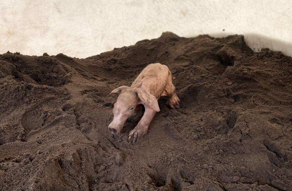 Karanga, a female baby aardvark born earlier this month at Rafiki's Planet Watch