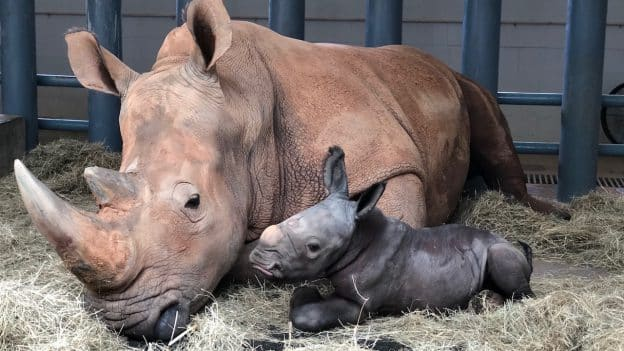 New baby rhino born at Disney's Animal Kingdom