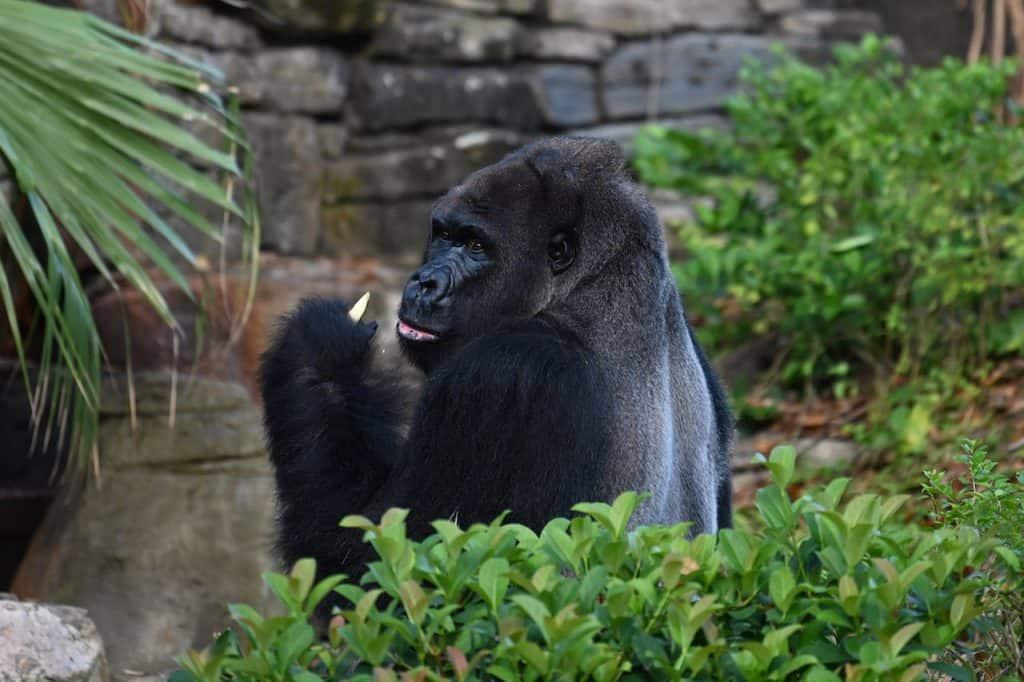 Gino, a silverback gorilla at Disney's Animal Kingdom