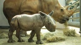 Baby Rhino born at Disney's Animal Kingdom