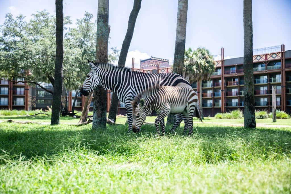 Zebra at Disney's Animal Kingdom