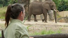 Animal care team member with African elephant at Disney's Animal Kingdom Theme Park