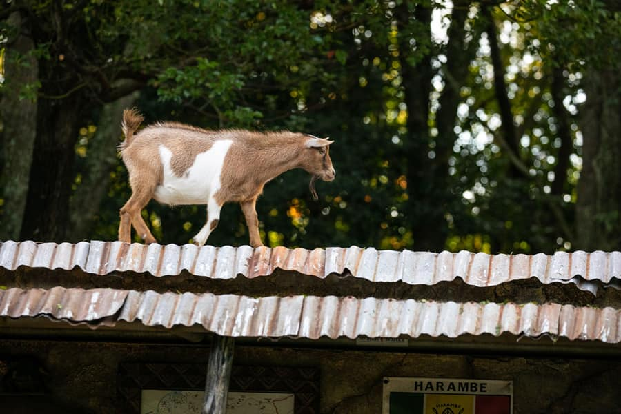 Nigerian Dwarf Goats at Kilimanjaro Safaris