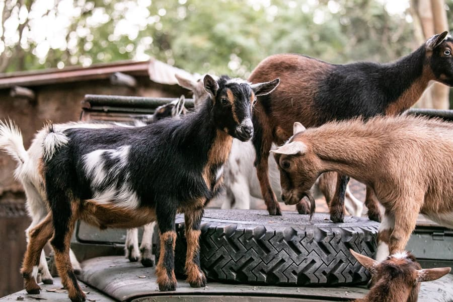 Nigerian dwarf goats at Disney's Animal Kingdom