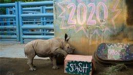 Rhino calf at Disney's Animal Kingdom