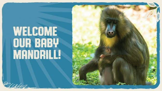 Baby mandrill and her mother at Disney's Animal Kingdom