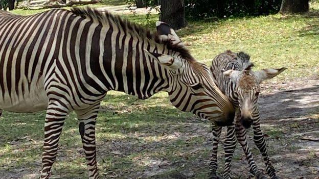 Disney's Animal Kingdom Theme Park Welcomes Baby Zebra