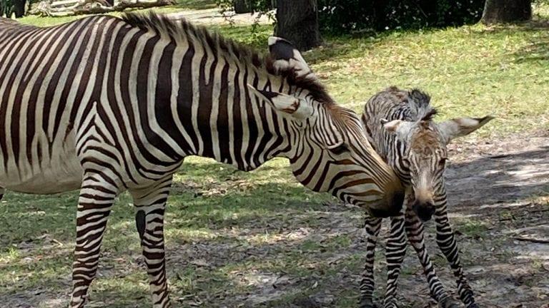 Visitantes assistem ao nascimento de zebra no Animal Kingdom