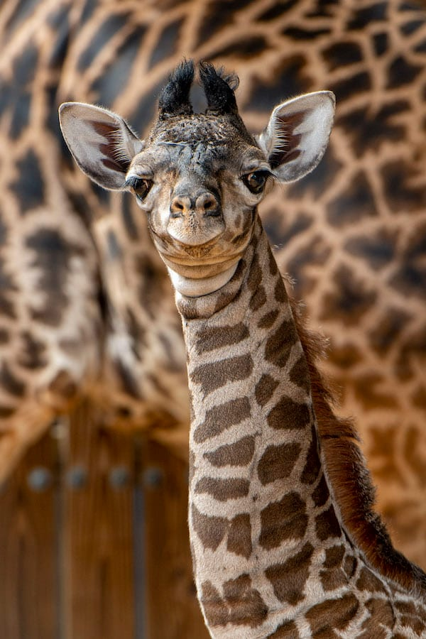 New Giraffe Calf at Disney's Animal Kingdom