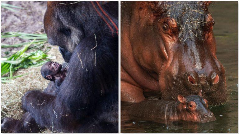 Filhotes de gorila e hipopótamo nascem no Animal Kingdom