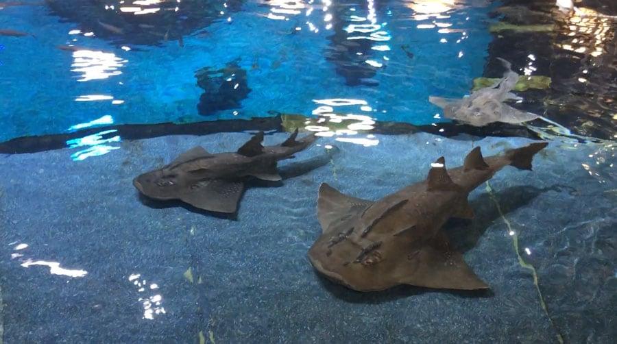 Shark rays at The Seas