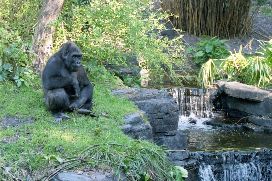 Gorilla Falls Exploration Trail at Disney's Animal Kingdom