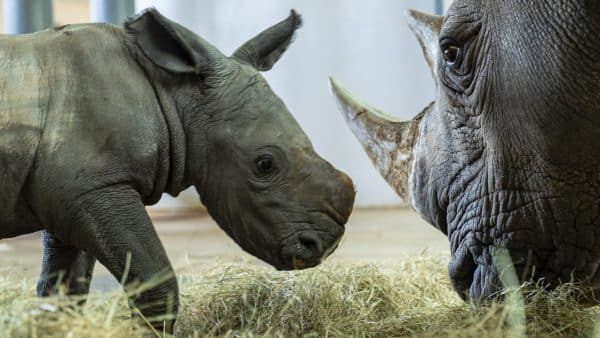Filhote de rinoceronte-branco nasce no Animal Kingdom
