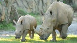 Rhinos at Disney's Animal Kingdom