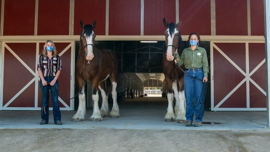 Champ and his half-brother Chip, five year old Clydesdales from Montana