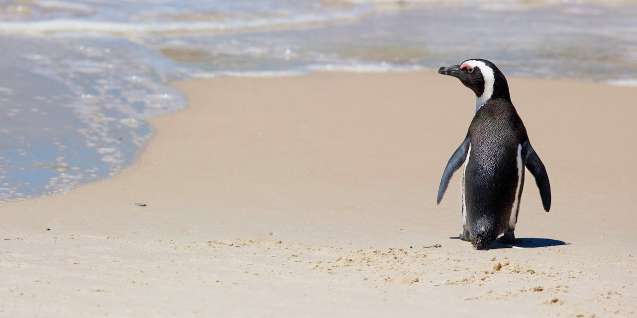 An African penguin walks down a white sand beach, looking out at the ocean