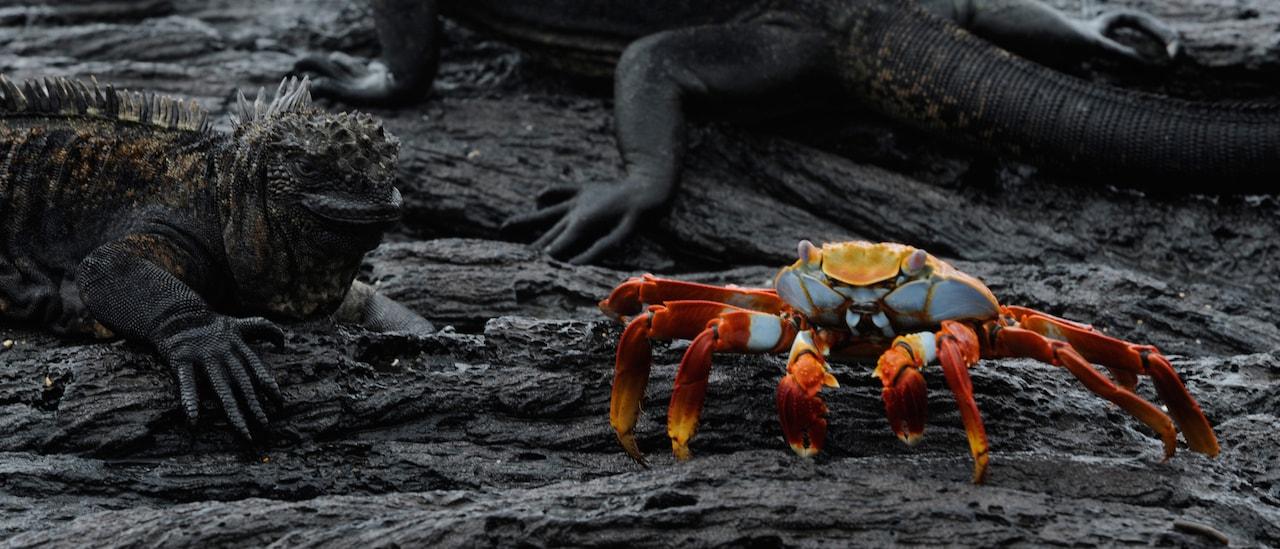 An iguana, a lizard and a crab rest on a lava rock surface