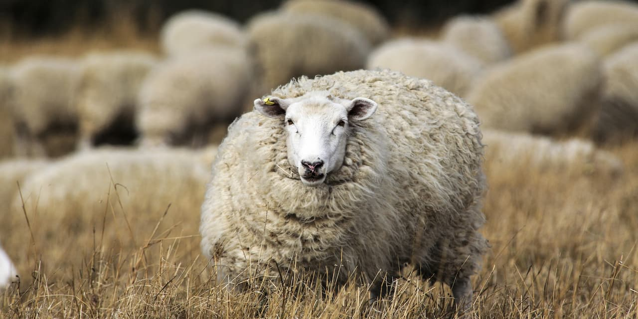 A large sheep stands in tall grass apart from its herd