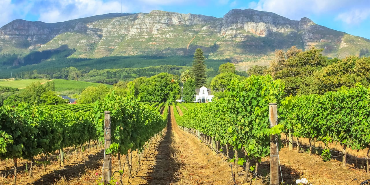 Rows of grape vines at Spier Wine Farm in Stellenbosch, South Africa with a mountain in the background