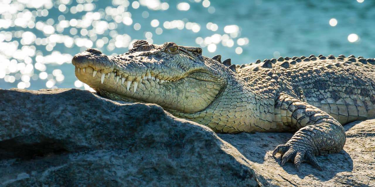 A crocodile rests atop a rock near a body of water