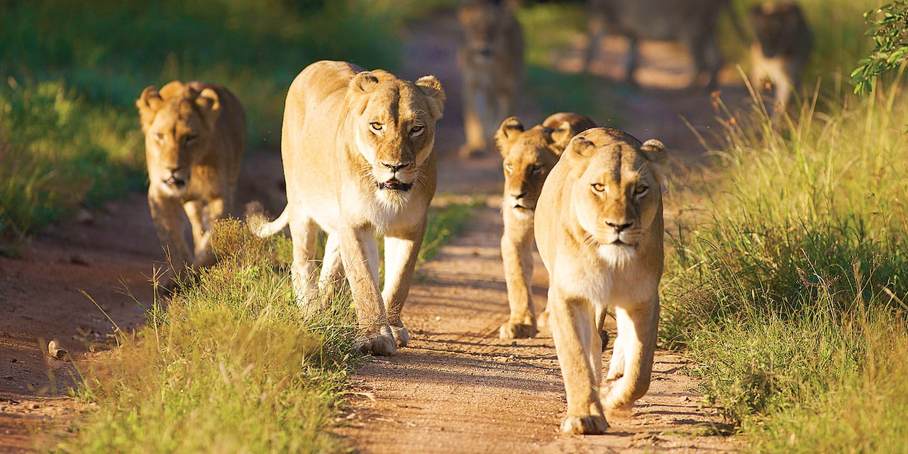 4 lionesses walk together down a path in the savanna