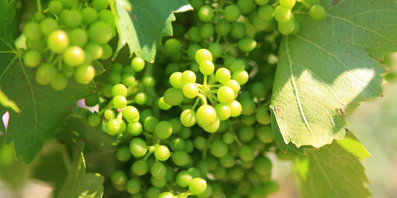 Clusters of grapes on their vines