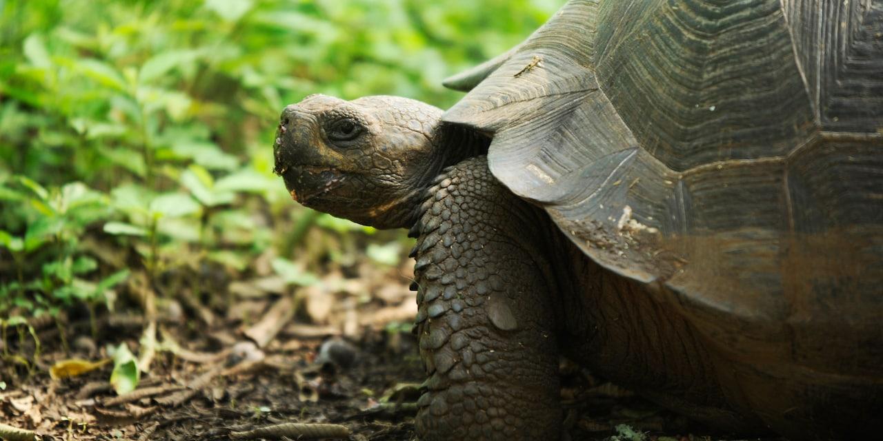 A Galápagos tortoise
