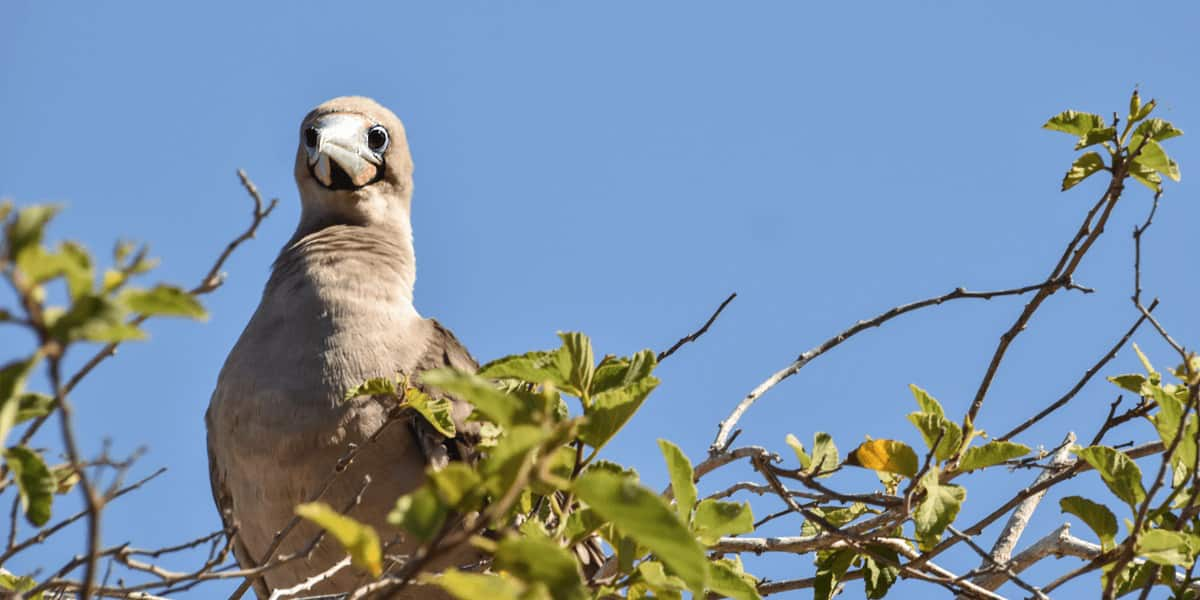 Red Foot Booby perched in a tree