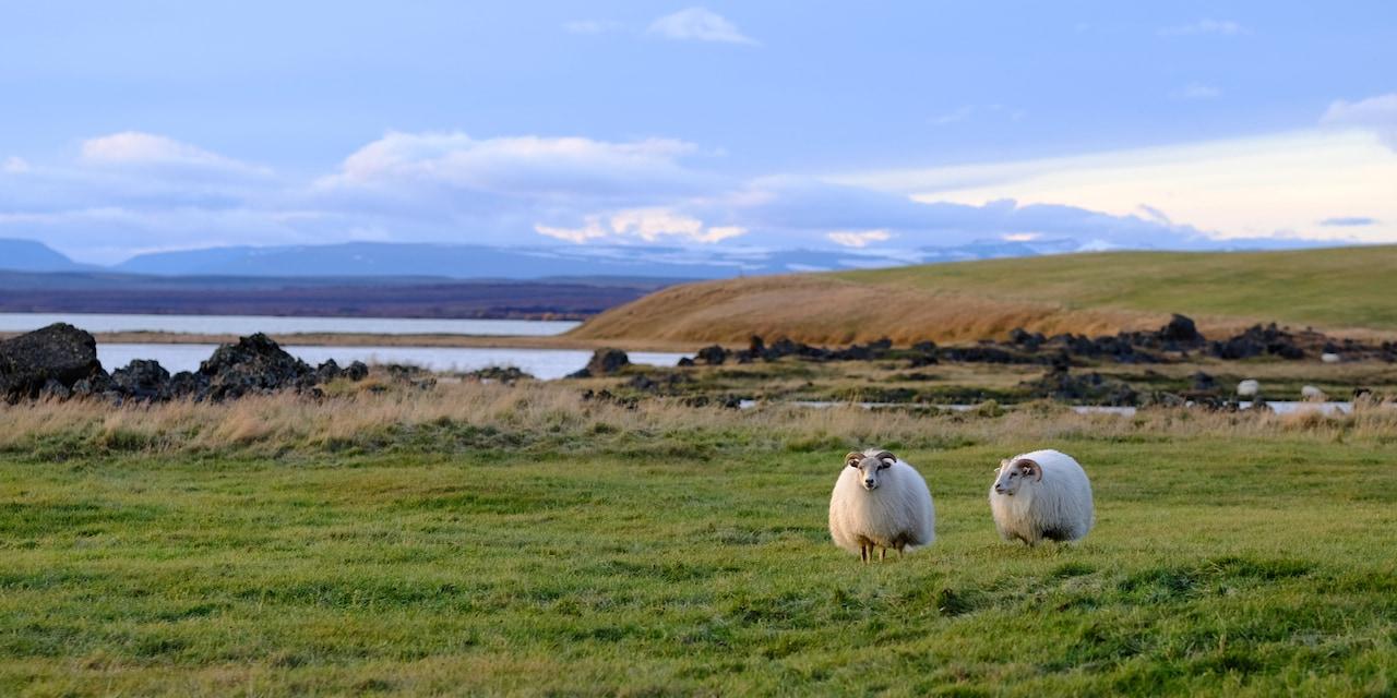 Two sheep graze in a grassy field near the water