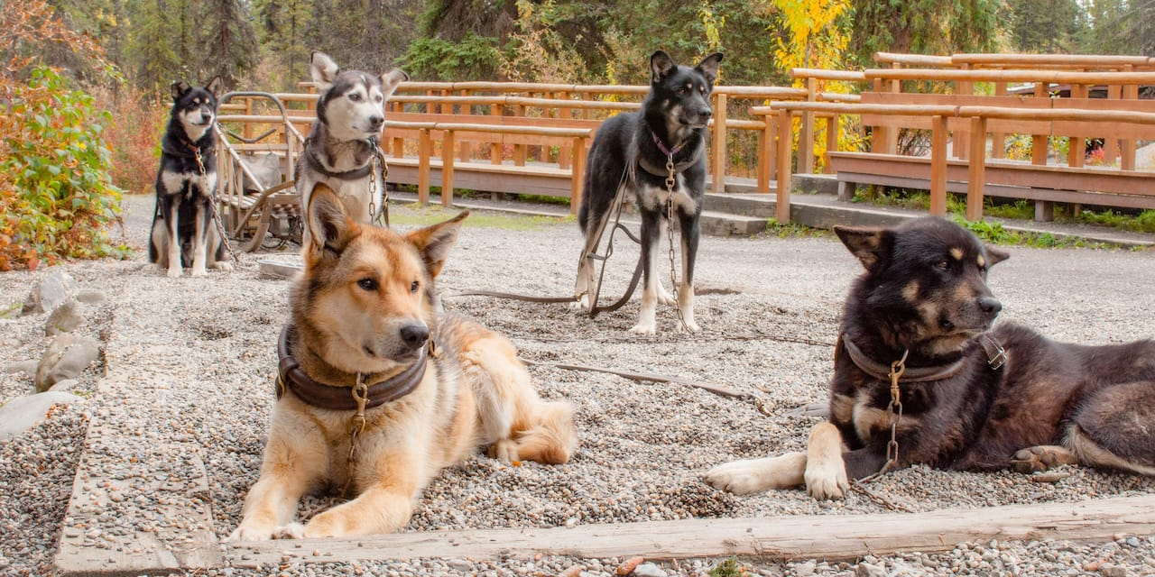 Five dogs hooked up to a sled at rest