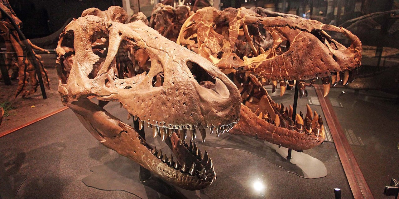 Two large dinosaur skulls on display in a museum