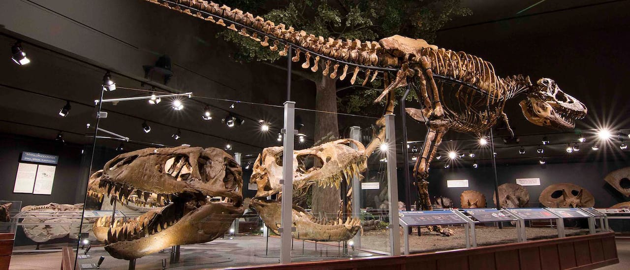A museum display featuring 2 large dinosaur skulls and a mounted Tyrannosaurus Rex skeleton