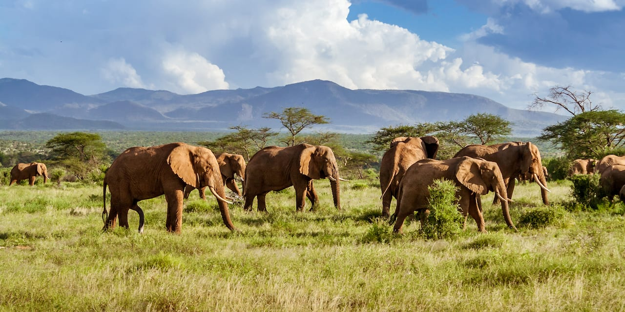 A herd of elephants walks across a grassy plain with mountains in the background