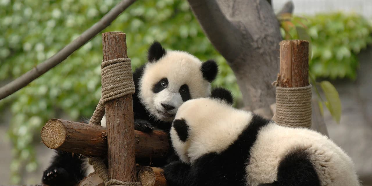 Two pandas play on a structure made of logs and rope