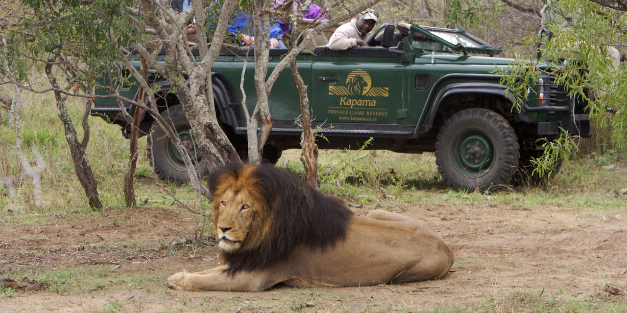A watchful lion lies at rest in the dirt near a jeep filled with tourists