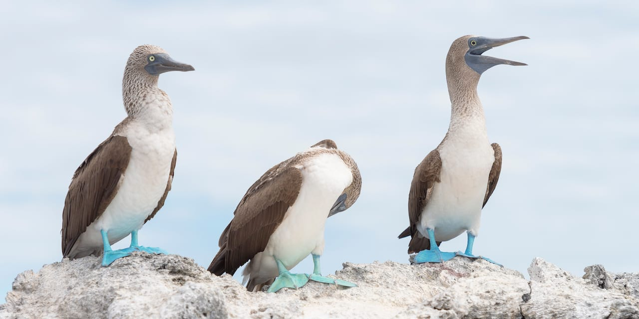 Three blue footed boobies perched on a rock