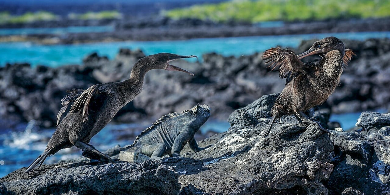 Two flightless cormorants and a marine iguana rest on a rock formation