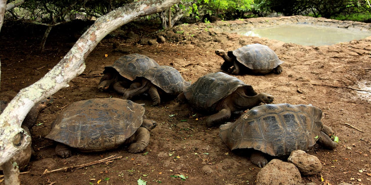 A group of 6 tortoises congregate near a small pool of water