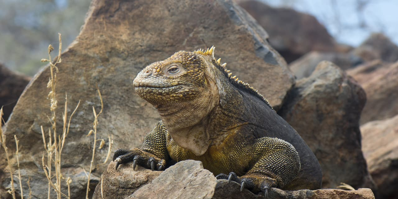 Iguana perched on a rock