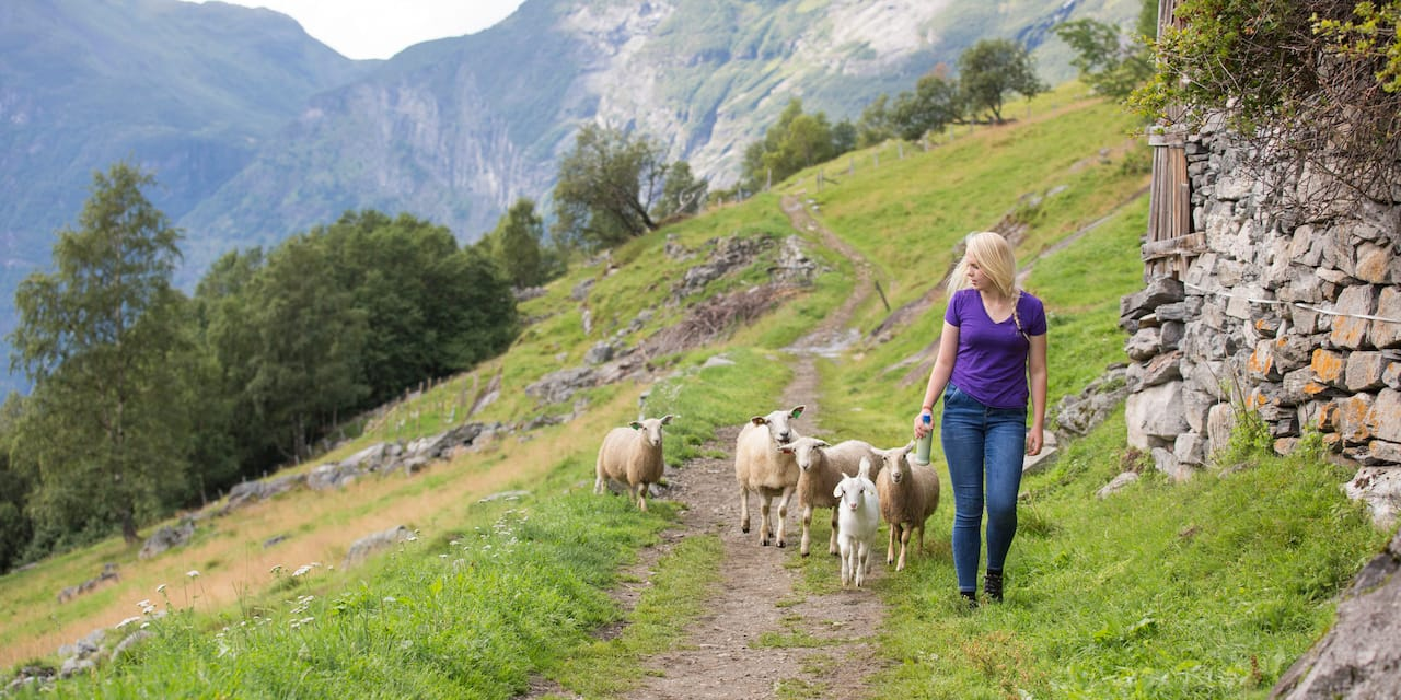 A woman, followed by 5 sheep, walks along a stone wall on a mountainside at Westeras Farm
