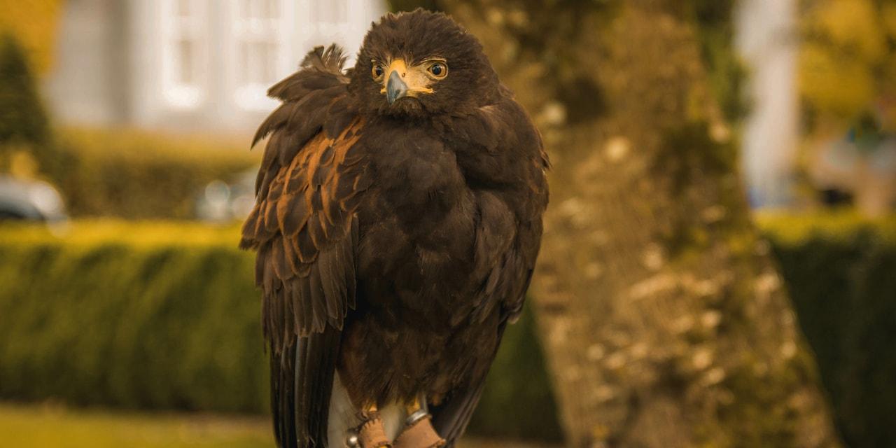 A falcon on its perch