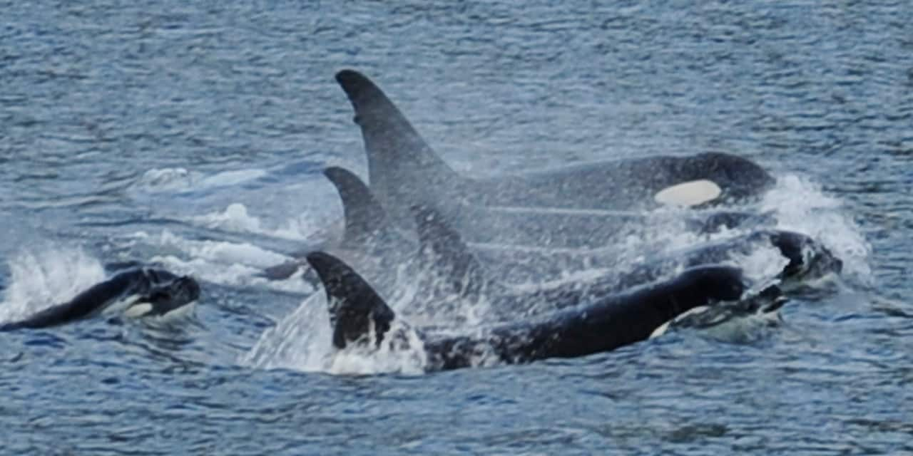 A pod of killer whales breach the ocean's surface