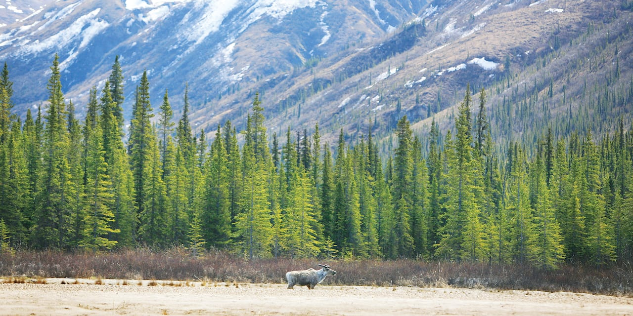 A lone moose stands at the edge of an Alaskan forest surrounded by mountains