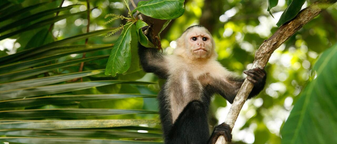 A perfectly still monkey holds onto a vine in the rainforest