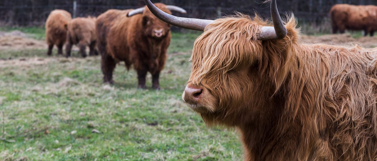 """Several Highland """"coo"""" cows stand in a field"""