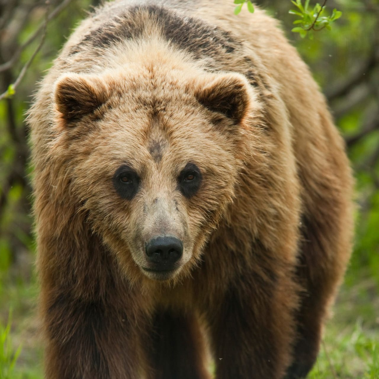 A grizzly bear in a forested area