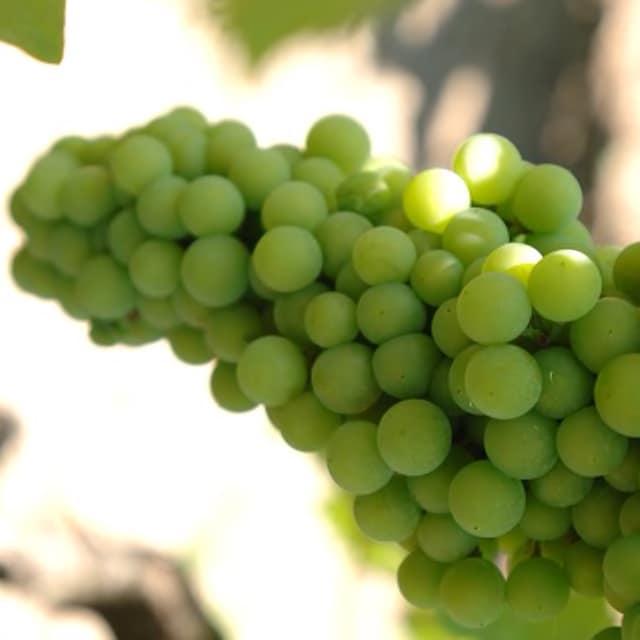 A bunch of grapes hang on a vine at Silverado Vineyards
